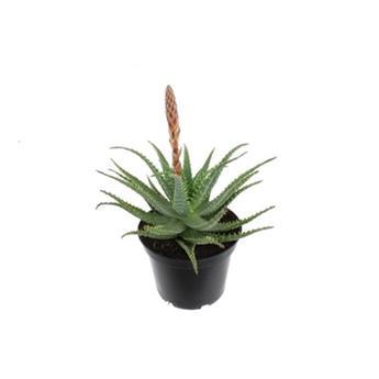 ALOE arborescens D20 P X2 plante medicinale