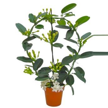 STEPHANOTIS floribunda D12 P X6 9-10 Elegance