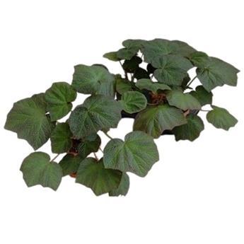 BEGONIA hybride D16 P X2 Autumn Ember