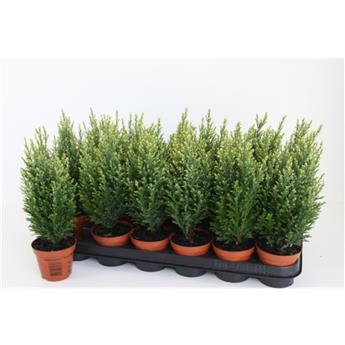 CHAMAECYPARIS lawsoniana D09 P X18 Snow White