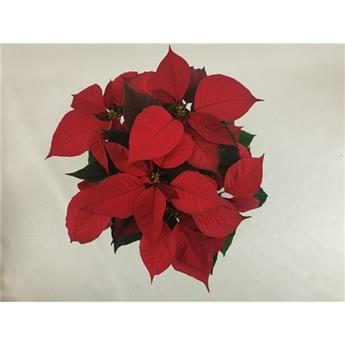 EUPHORBIA pulcherrima D13 P x8 Christmas Feelings
