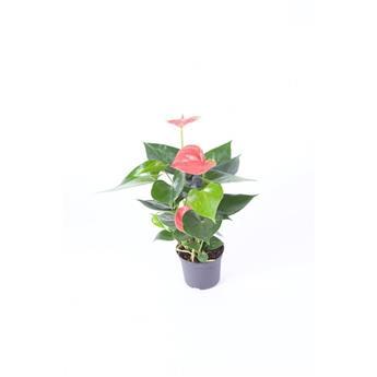 ANTHURIUM andreanum D09 P X12 ROSE Fleur d amour