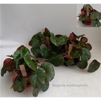 BEGONIA erythrophylla D16 P X2 30CM