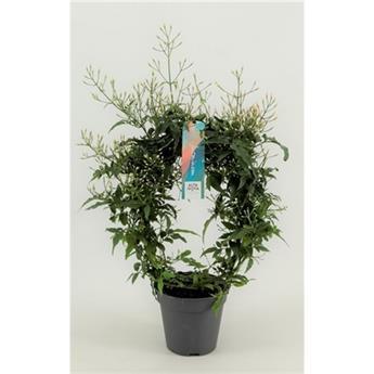 JASMINUM polyanthum D12 P x9 300+ Jasmin d hiver