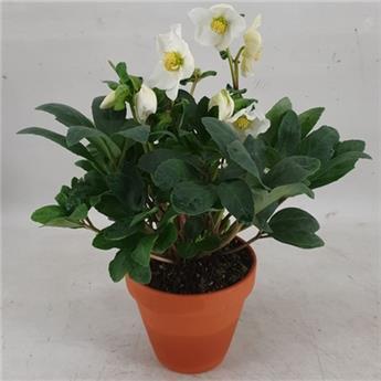 HELLEBORUS orientalis D12T P X6 Christmas Carol Pot Terre