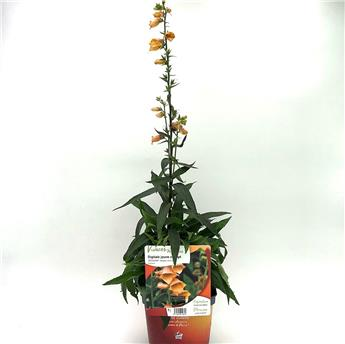 DIGITALIS hybride C02 X8 Goldcrest