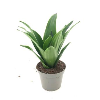 MINI DRACAENA fragrans D06 x12