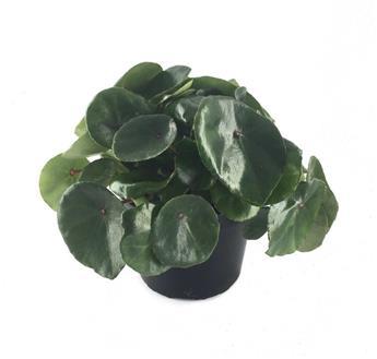 BEGONIA conchifolia D12 X8