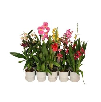 ORCHIDEE hybride D12 1BR P X10 Budget MIX