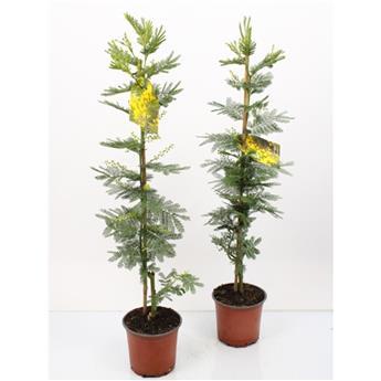 ACACIA dealbata D15 P X6 Mimosa Canne 70CM