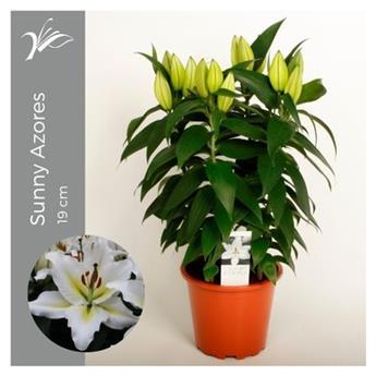 LILIUM orientalis D19 P Sunny Azores 50CM