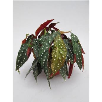 BEGONIA maculata D14 P X4