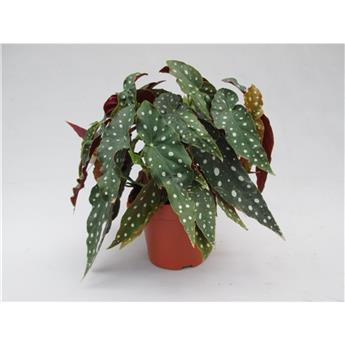 BEGONIA maculata D17 P 45CM