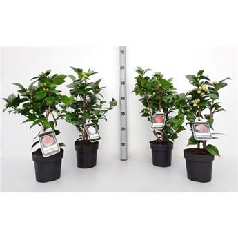 CAMELLIA japonica D15 P X6 55Cm + Fleur