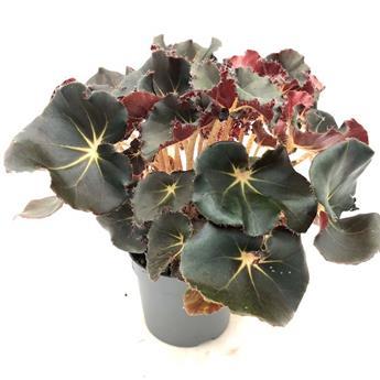 BEGONIA erytrophylla D12 P X6 Black Jungle 35CM