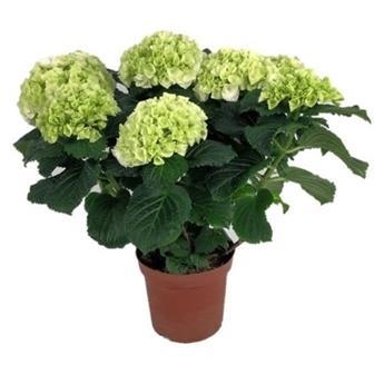 HYDRANGEA macrophylla D14 P x6 Clarissa 5-6