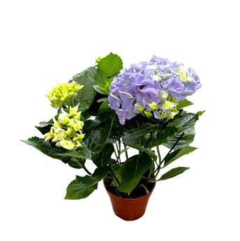 HYDRANGEA macrophylla D14  P X6 Early Blue 5-6