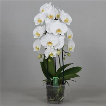 PHALAENOPSIS hybride D12 2BR P X5 Beautifall Cascade Blanc