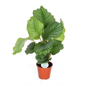 CALATHEA orbifolia D14 P X8 50CM