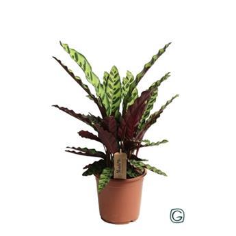 CALATHEA lancifolia D21 P Insigne 60CM