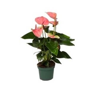 ANTHURIUM andreanum D12 P X10 Sweet Dream Sensa