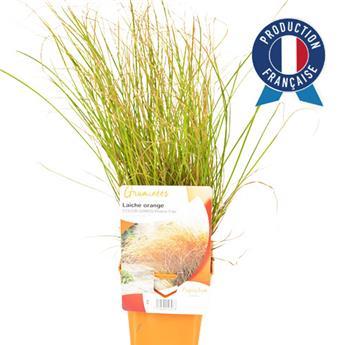 CAREX testacea C075 X10 Prairie Fire Colour Grass