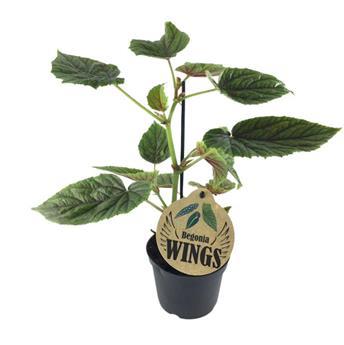 BEGONIA maculata D12 X8 My Oldemor Wings