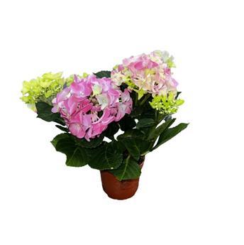 HYDRANGEA macrophylla D10 P X8 3+ Early Rosa