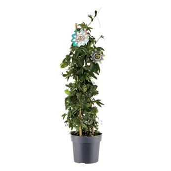 PASSIFLORA caerulea D17  P 70CM Fleur de la pass
