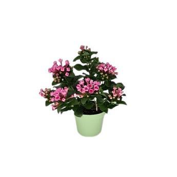 BOUVARDIA longiflora D12 P X8 Royal Daphne Fresco Pink