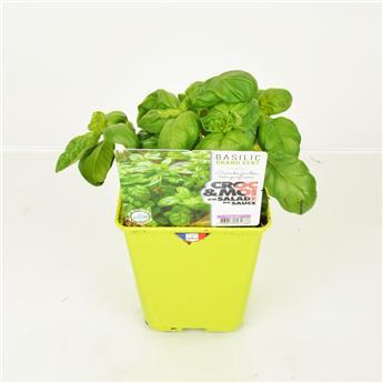 OCYMUM basilicum D14 Grand vert Basilic POUR PLANTA
