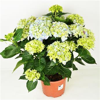 HYDRANGEA macrophylla D21