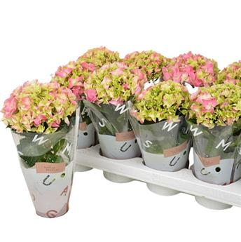 HYDRANGEA macrophylla D09 P X10 Early Rosa