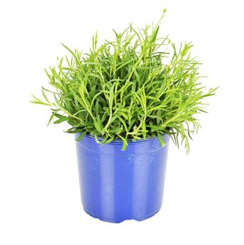LAVANDULA angustifolia D19 Hidcote TOUFFE