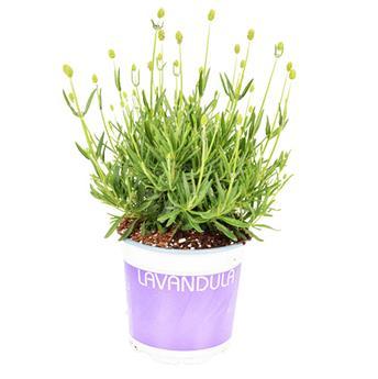 LAVANDULA angustifolia D12 P X8 Hidcote