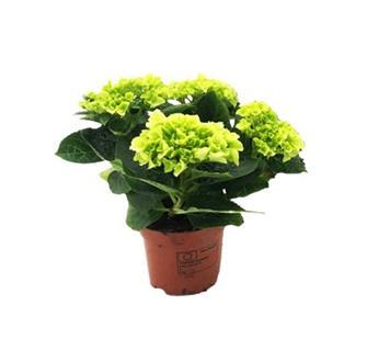HYDRANGEA macrophylla D10  P X8 3+ Clarissa