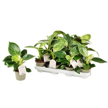PHILODENDRON hybride D09 X14 White Measure