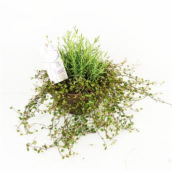 LAVANDULA angustifolia D23