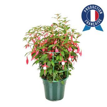 FUCHSIA hybride D17 Buisson de beaute