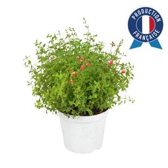 SALVIA greggii C05 Salvia Vivace