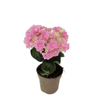 HYDRANGEA macrophylla D10 P X8 Curly Wurly 3+