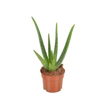 ALOE vera D12 x8 Aloe VRAIE Medicinal
