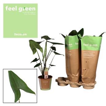 ALOCASIA zebrina D19 P X3 Feel Green 70CM