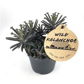 KALANCHOE tubiflora  D12 X8
