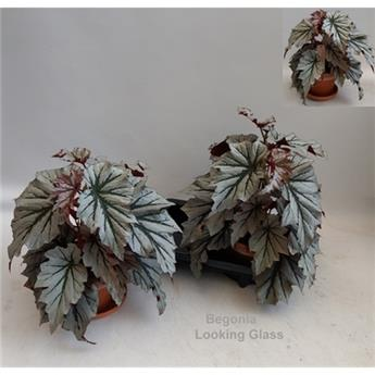 BEGONIA hybride D16T P X2 Looking Glass