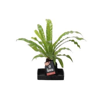 ASPLENIUM hybride D17 P X3 Plant Lova