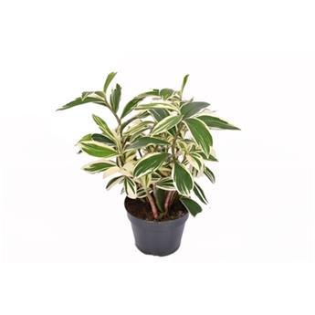 COSTUS arabicus D15  P x8 variegata