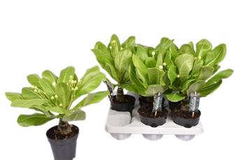 BRIGHAMIA insignis D12 X6 Palmier Hawaien