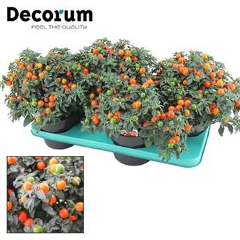 SOLANUM pseudocapsicum D17  P X2