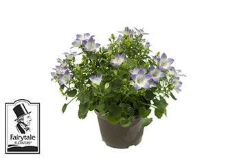 CAMPANULA rotundifolia D11 x8 Fancy Mee